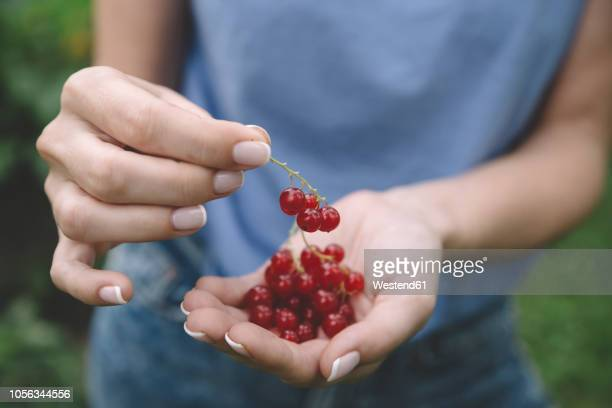 young woman harvesting red currants - johannisbeere stock-fotos und bilder