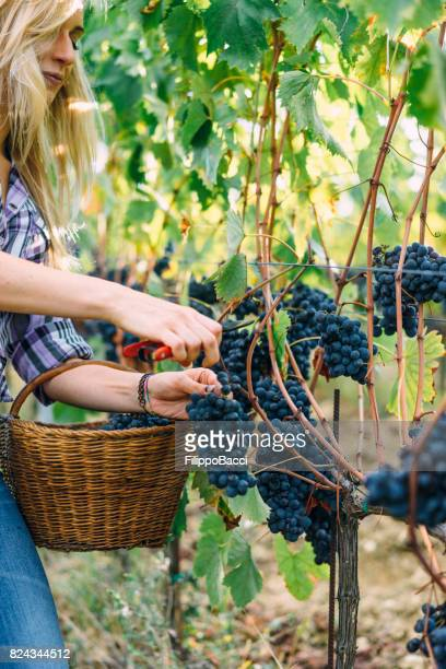 young woman harvesting red grapes - chianti region stock pictures, royalty-free photos & images