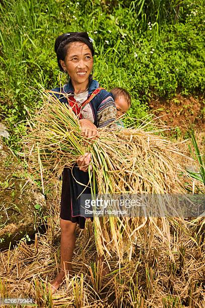 Young woman harvesting rice with baby on her back, Vietnam