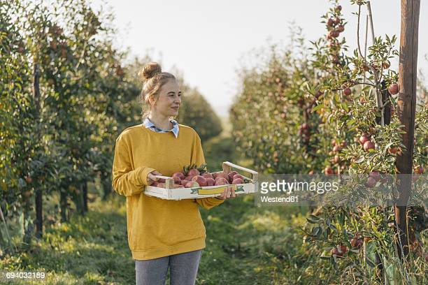 young woman holding crate with apples in orchard - holzkiste stock-fotos und bilder