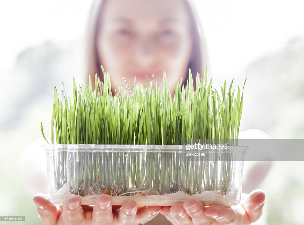 Young woman holding plastic tray with fresh green wheatgrass seedlings : Stock Photo