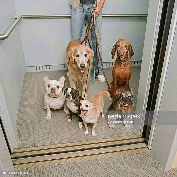 Young woman holding six dogs in elevator, elevated view