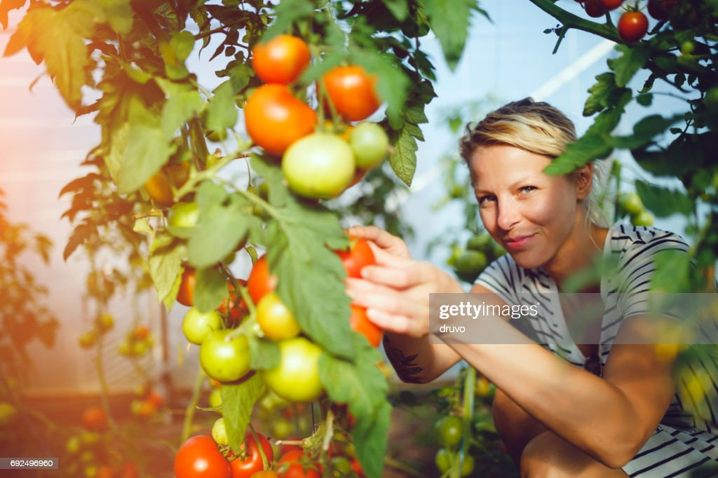 Young woman in tomato greenhouse : Stock Photo