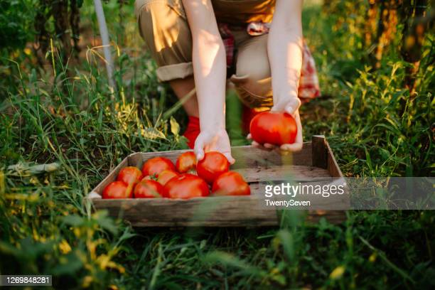 a young woman is picking a tomato - growth stock pictures, royalty-free photos & images