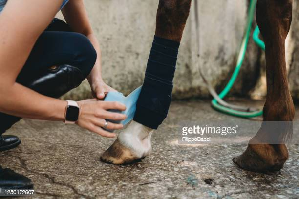 young woman is putting bandage or polo wraps to a horse - dressage stock pictures, royalty-free photos & images