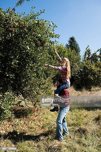 Young woman on boyfriends shoulders picking apples in organic farm orchard