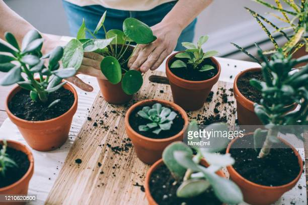 young woman, passionate houseplants care giver, repotting plants - plant stock pictures, royalty-free photos & images