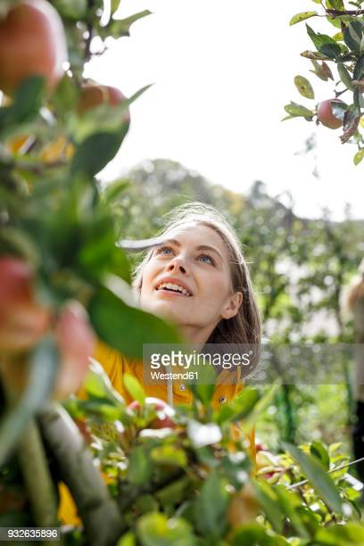 young woman picking apple from tree in orchard - obstbaum stock-fotos und bilder
