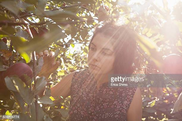 Young woman picking apples from tree