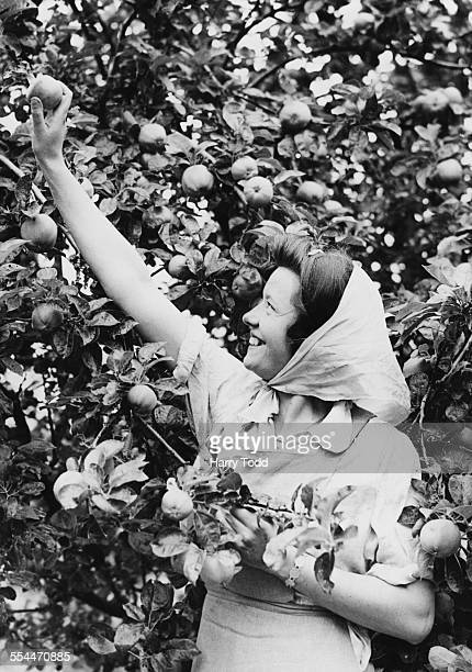 Young woman picking apples on the farm owned by former British Prime Minister David Lloyd George at Churt, Surrey, 13th July 1943. She is one of a...
