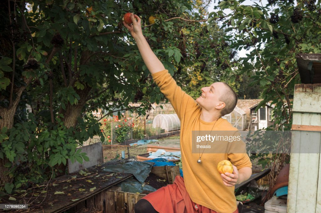 Young woman picking apples : Stock Photo
