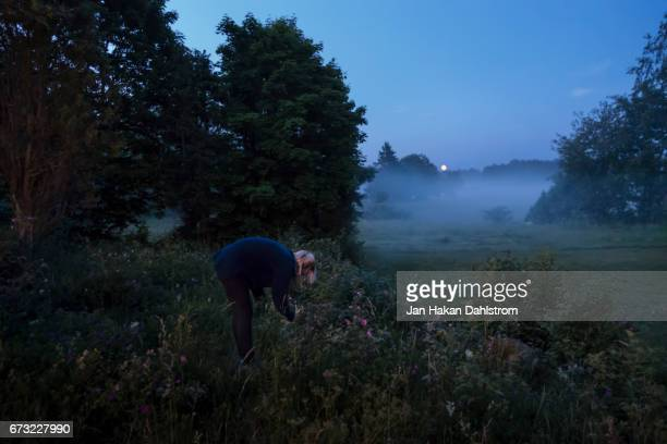 young woman picking flowers on midsummer night - midsummer sweden stock pictures, royalty-free photos & images