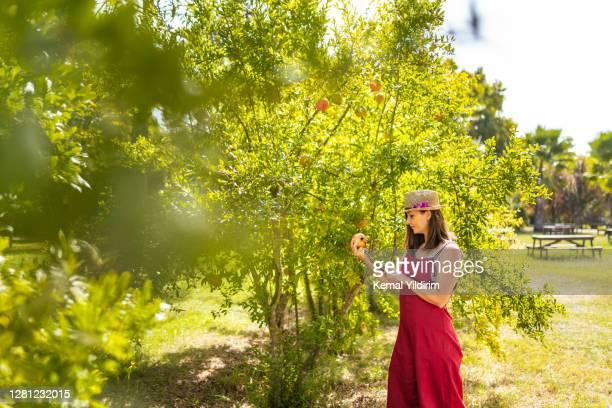 giovane donna che raccoglie melograni da un albero nel suo cortile - albero da frutto foto e immagini stock