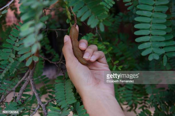 Young woman picking tamarind from tree
