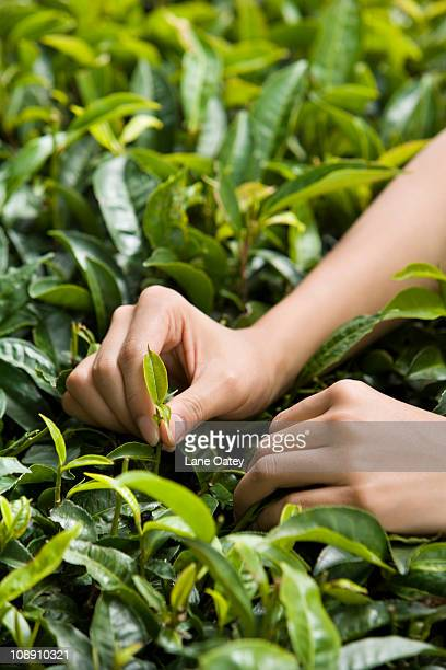 Young Woman Picking Tea, Close-Up of Hand