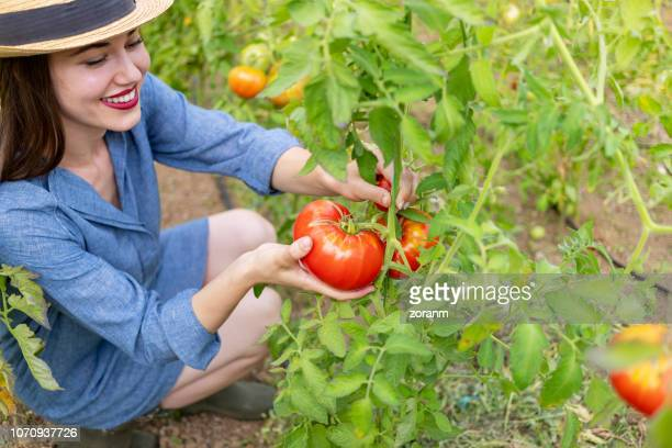 Young woman picking tomato