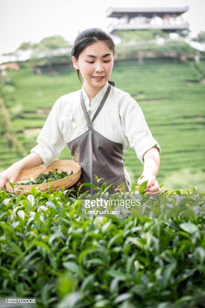 a young woman picks tea in a tea garden - china east asia stock pictures, royalty-free photos & images