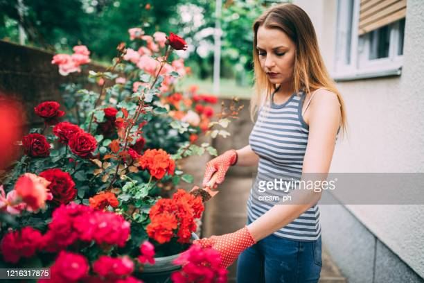 young woman potting flowers in the backyard - red roses garden stock pictures, royalty-free photos & images