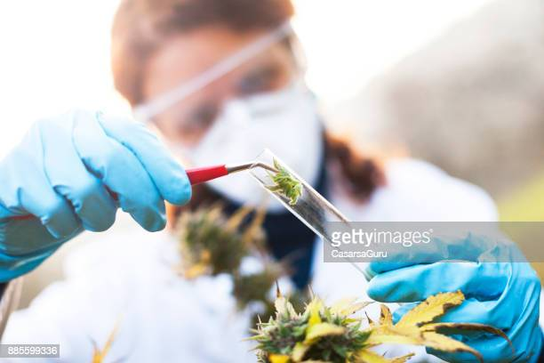 young woman preparing homeopathic medicine from marijuana - homeopathic medicine stock photos and pictures
