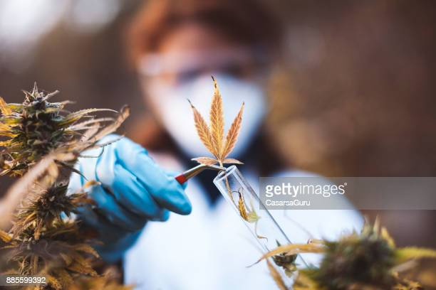 young woman preparing homeopathic medicine from marijuana - marijuana herbal cannabis stock pictures, royalty-free photos & images