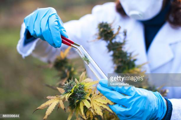 young woman preparing homeopathic medicine from marijuana - cannabis plant stock photos and pictures