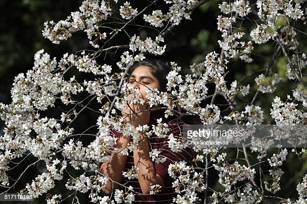 A young woman smells the blooms inside the branch of one of the cherry trees surrounding the Tidal Basin near the National Mall March 23 2016 in...