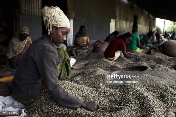 A young woman sorts coffee beans at the Kaffa Forest Coffee Farmers' Cooperative Union on December 6 2012 outside Bonga Ethiopia This Kaffa region is...