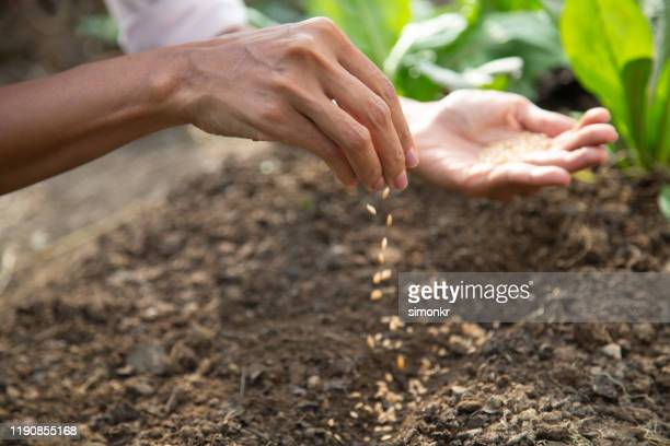 young woman sowing seeds in soil - seed stock pictures, royalty-free photos & images