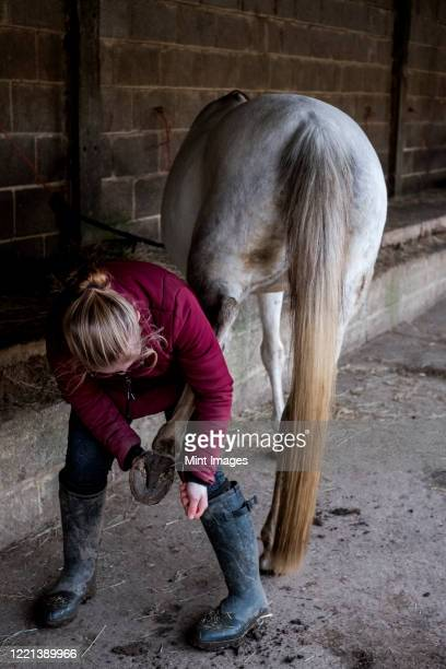 young woman standing outside stable, cleaning hoof of white horse. - herbivorous stock pictures, royalty-free photos & images