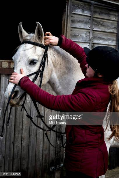 young woman standing outside stable, putting bridle on white cob horse. - herbivorous stock pictures, royalty-free photos & images