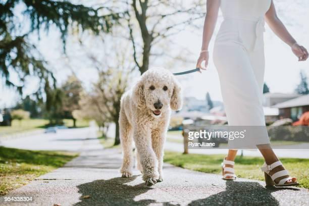 uma jovem mulher levando o cachorro poodle de estimação para caminhada - poodle - fotografias e filmes do acervo