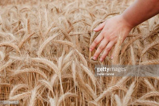 young woman touching golden field of wheat in bavaria, germany. - rye grain stock pictures, royalty-free photos & images