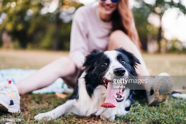 young woman with a joyful dog outdoors - collie stock pictures, royalty-free photos & images