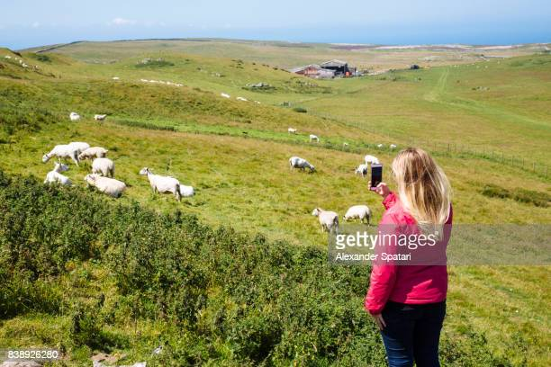 young woman with blonde hair taking picture with smart phone of sheep wales, uk - eco tourism stock pictures, royalty-free photos & images