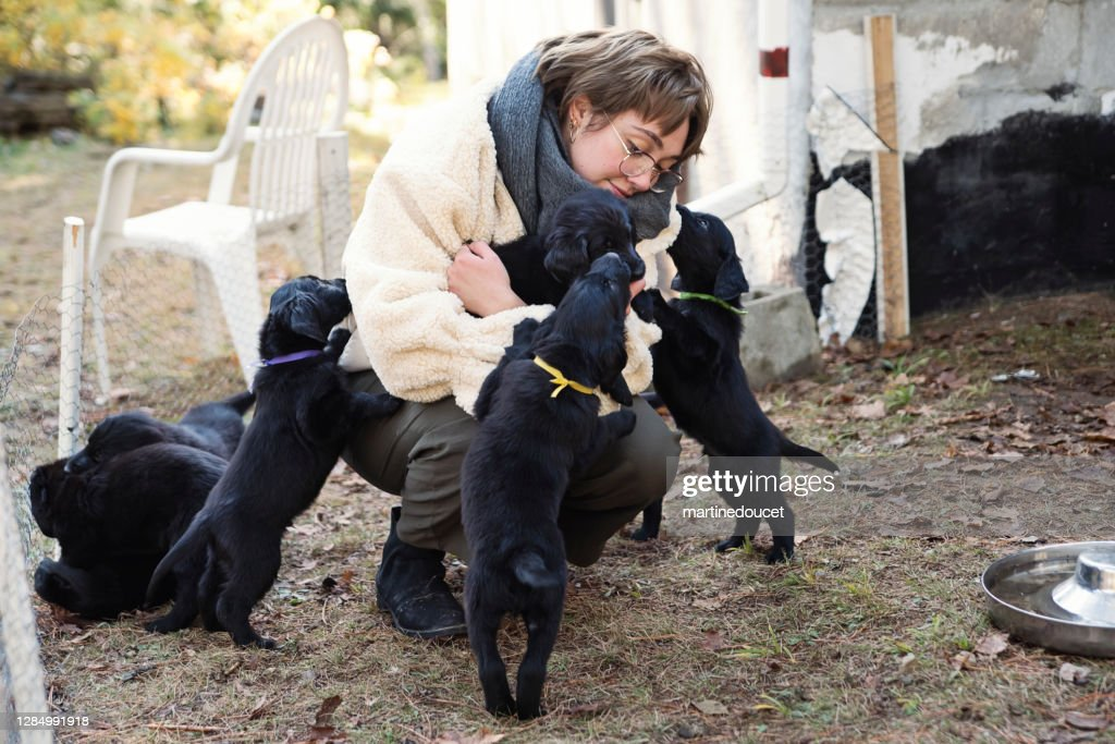 Young woman with purebred flat-coated retriever puppy litter. : Stock Photo