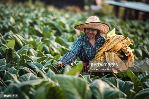 young woman working harvesting tobacco leaf in nong khai thailand - tabakwaren stock-fotos und bilder