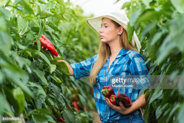 young woman working on a bell pepper, paprika plantation - paprika stock pictures, royalty-free photos & images