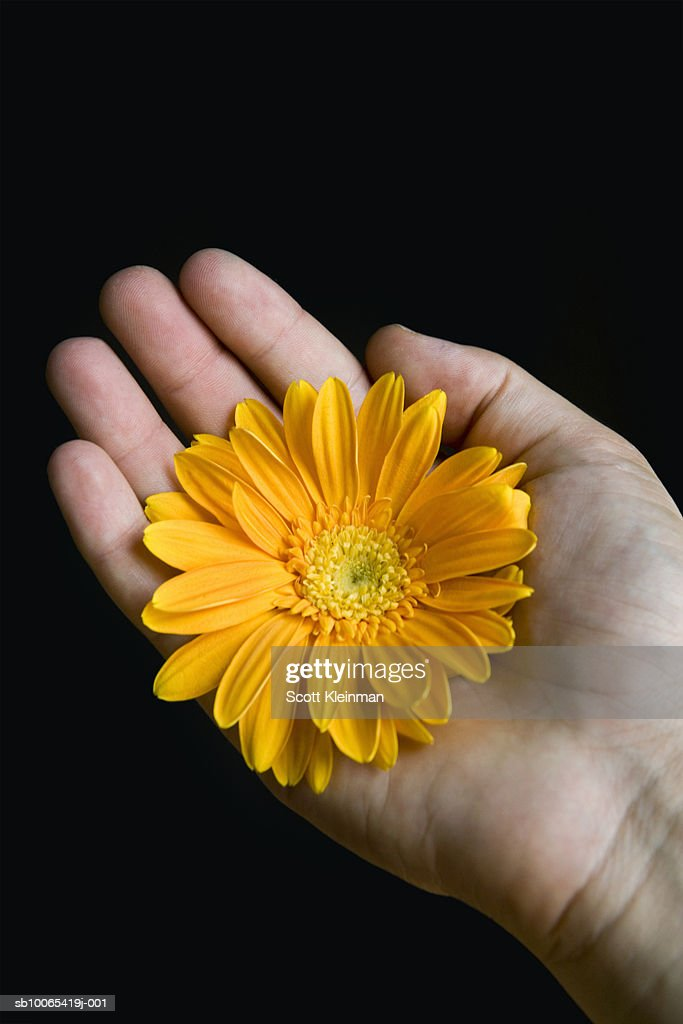 Young woman's hand with yellow gerbera daisy : Foto stock