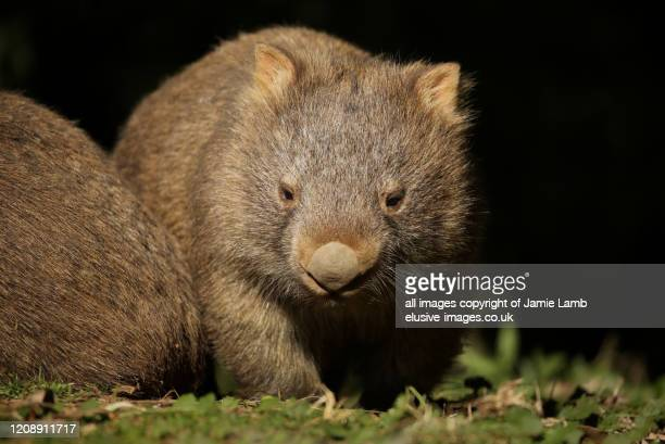 young wombat portrait, kangaroo valley, australia - wombat stock pictures, royalty-free photos & images