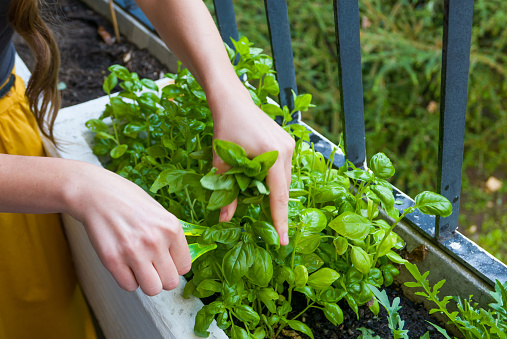 Young women cuts fresh herbs for a dinner 929254324