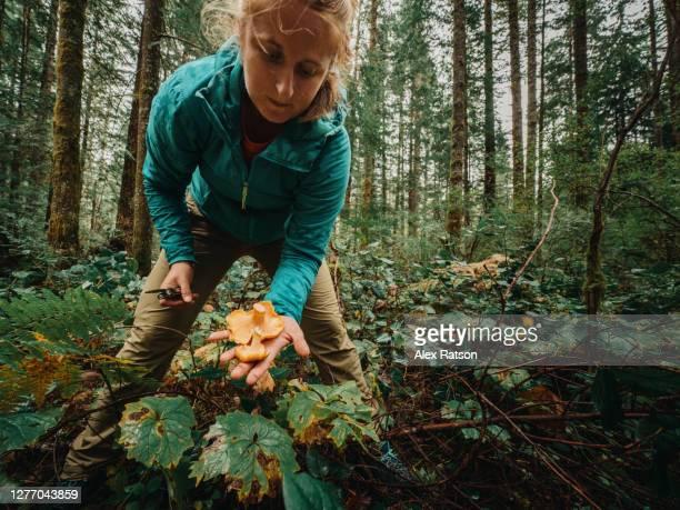 a young women leaning forward holds chanterelle mushrooms that she harvested - foerageren stockfoto's en -beelden