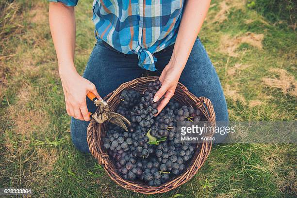 Young women with basket full of grapes in vineyard