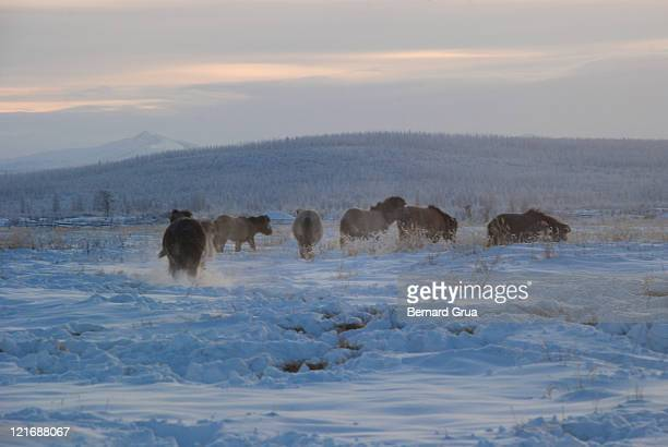 young yakut horses - bernard grua photos et images de collection
