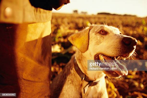 young yellow lab hunting dog - maisie smith stock pictures, royalty-free photos & images