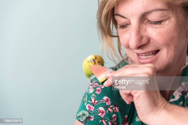 young yellow-green budgerigar (australian parakeet) eating watermelon from woman hands - tame stock pictures, royalty-free photos & images