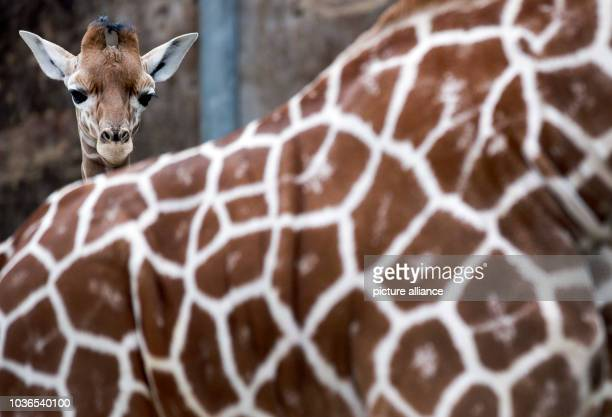 A young yet unnamed giraffe bull stands behind another giraffe at Duisburg Zoo in Duisburg Germany 19 April 2013 The six week old young giraffe...