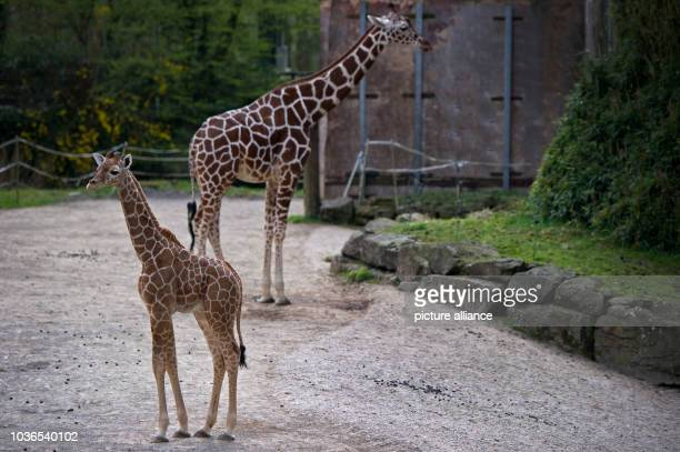 A young yet unnamed giraffe bull stands in front of another giraffe at Duisburg Zoo in Duisburg Germany 19 April 2013 The six week old young giraffe...