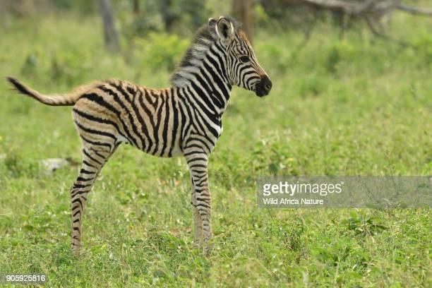 young zebra fowl - filhote de animal - fotografias e filmes do acervo