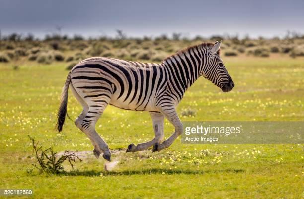 young zebra running, etosha national park, namibia, africa - zebra stock-fotos und bilder