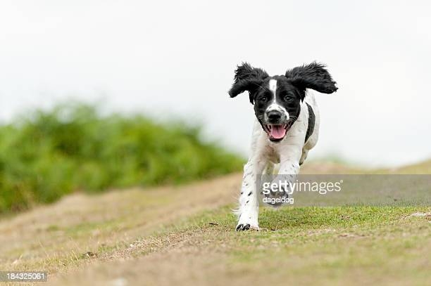 young,free and happy - spaniel stock photos and pictures